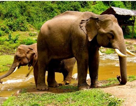 泰国象 泰国象 大象 泰国象 泰国象系列二  泰国 象图片下载
